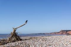 Cuervo en la playa, Devon, Inglaterra fotografía de archivo
