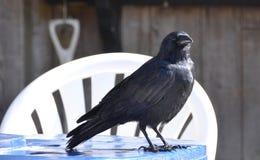 Cuervo en la tabla foto de archivo libre de regalías