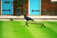 Cuervo en la torre de Londres Fotografía de archivo