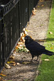 Cuervo en la torre de Londres Imágenes de archivo libres de regalías