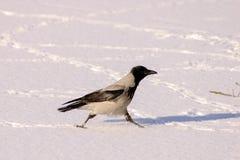 Cuervo en nieve Imágenes de archivo libres de regalías