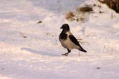 Cuervo en nieve Foto de archivo