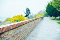 Cuervo en parque en día del otoño fotografía de archivo