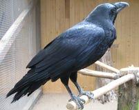 Cuervo en parque zoológico Fotos de archivo libres de regalías