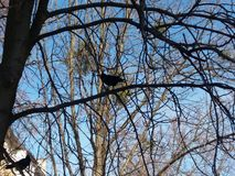 Cuervo en ramas Imágenes de archivo libres de regalías