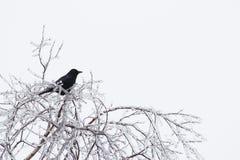 Cuervo en ramas heladas Fotos de archivo