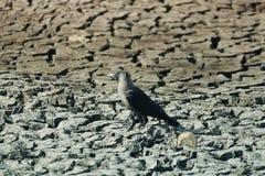 Cuervo en tierra seca Fotografía de archivo