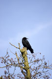 Cuervo en un árbol Fotos de archivo