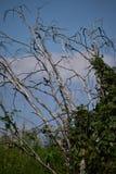 Cuervo en un árbol muerto Fotos de archivo