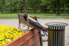Cuervo en un banco de parque Imagenes de archivo