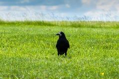 Cuervo en un campo Imagen de archivo libre de regalías