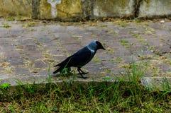 Cuervo en una acera - Turquía Foto de archivo libre de regalías