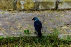 Cuervo en una acera - Turquía Fotografía de archivo