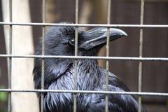 Cuervo en una jaula Foto de archivo