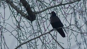 Cuervo en una rama en invierno almacen de metraje de vídeo