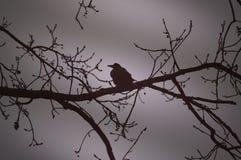 Cuervo en una rama en la noche Imagen de archivo libre de regalías