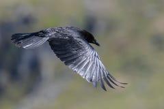 Cuervo en vuelo fotografía de archivo libre de regalías