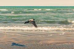 Cuervo en vuelo por el mar Imágenes de archivo libres de regalías