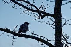 Cuervo encapuchado Imagen de archivo libre de regalías