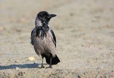 Cuervo encapuchado Imagenes de archivo