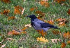 Cuervo encapuchado Fotografía de archivo libre de regalías