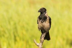 Cuervo encapuchado, cornix del corvus imagen de archivo libre de regalías