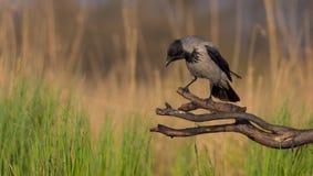 Cuervo encapuchado - cornix del Corvus Fotos de archivo