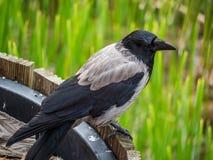 Cuervo encapuchado (cornix del Corvus) que se sienta en una maceta de madera en un parque Imagenes de archivo