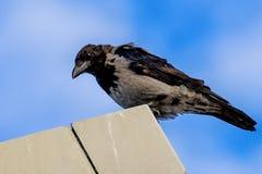 Cuervo encapuchado, cornix L del corone del Corvus Fotografía de archivo