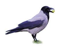 Cuervo encapuchado (Corvus Cornix) que sostiene la uva Imagenes de archivo