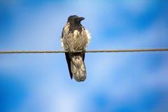 Cuervo encapuchado en alambre eléctrico Imagenes de archivo