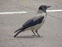 Cuervo encapuchado en el camino Fotos de archivo