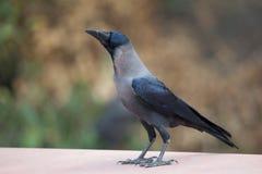 Cuervo encapuchado en el parque nacional de Keoladeo Ghana, Bharatpur, la India fotografía de archivo