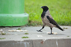 Cuervo encapuchado orgulloso Imagen de archivo libre de regalías
