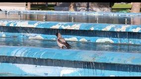 Cuervo encapuchado que se baña