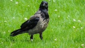 Cuervo grande gris en un prado verde Fotos de archivo libres de regalías