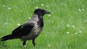Cuervo grande gris en un prado verde Imágenes de archivo libres de regalías