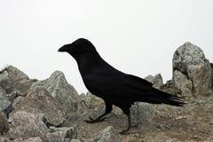 Cuervo grande que se coloca en una piedra Imagen de archivo libre de regalías