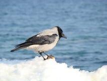 Cuervo gris Imagen de archivo libre de regalías