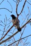 Cuervo gris Fotos de archivo