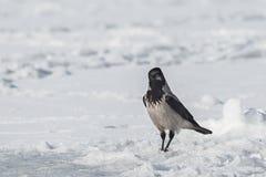 Cuervo gris Imágenes de archivo libres de regalías