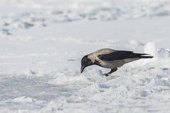Cuervo gris Foto de archivo libre de regalías