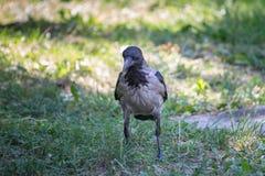 Cuervo gris Fotografía de archivo