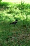 Cuervo gris en el parque Imagen de archivo libre de regalías