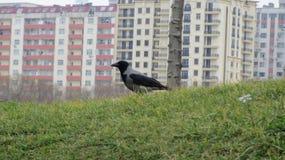 Cuervo gris en la hierba foto de archivo
