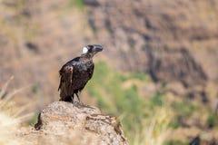 cuervo Grueso-cargado en cuenta en una roca Foto de archivo libre de regalías