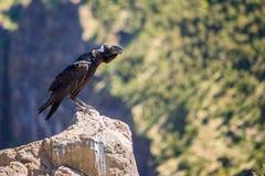 cuervo Grueso-cargado en cuenta en una roca Imagenes de archivo
