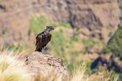 cuervo Grueso-cargado en cuenta en una roca Fotografía de archivo libre de regalías