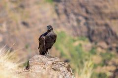 cuervo Grueso-cargado en cuenta en una roca Fotografía de archivo