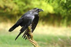 Cuervo hermoso Imagen de archivo libre de regalías